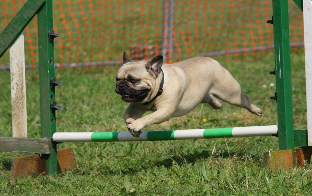 Mops Agility Sprung
